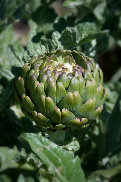 They had a little Artichoke patch and it was full of large Artichokes