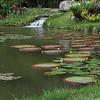 124 Amazonian Lily Pads