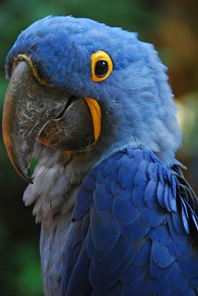 Hyacinth Macaw.  Parque das Aves bird zoo,  Foz do Iguazu