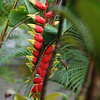 Heliconia bihai (Red palulu), native to Brazil, with hummingbird, Phaethornis superciliosus (long tailed hermit). Pousada Verde, Chapada Diamantina, Bahia, Brazil. Near Lençois.