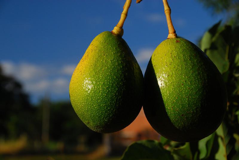 Avocados on the farm