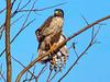 Brazil, Pantanal, Mato Grosso, Roadside Hawk, subadult
