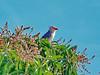 Guira Cuckoo, Brazil, Pocone, Mato Grosso