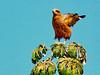 Brazil, Pantanal, Mato Grosso, Savanna Hawk