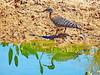 Brazil, Pantanal, Mato Grosso, Sunbittern