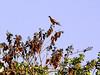 Pale-vented Pigeon, Brazil, Cuiaba, Mato Grosso