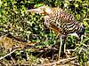 Brazil, Pantanal, Mato Grosso, Rufescent Tiger Heron, juvenile