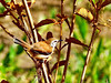 Brazil, Pantanal, Mato Grosso, Rusty-backed Antwren