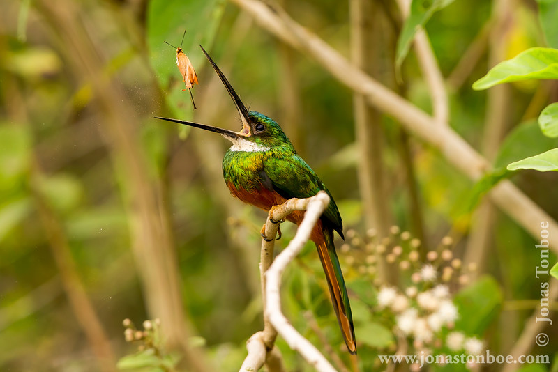 Rufous-tailed Jacamar Eating a Butterfly