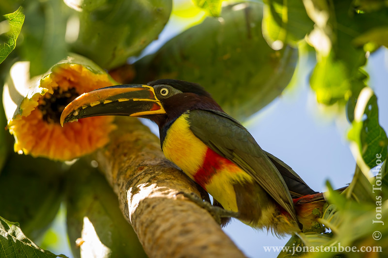 Chestnut-eared Aracari Eating Papaya