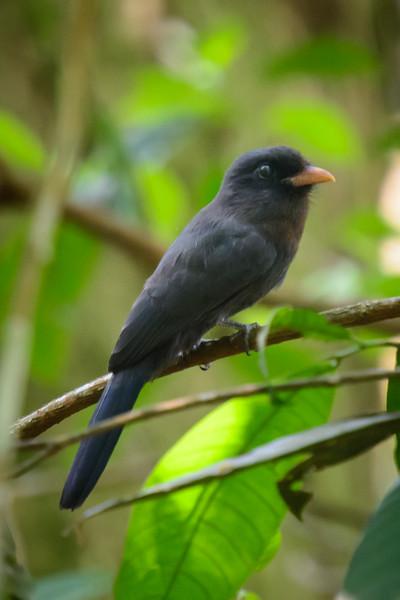 Black-Fronted Nunbird......(RLT_3085)