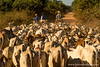Cattle Blocking the Transpantaneira Road