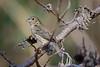 Stripe-Tailed Yellow-Finch......(RLT_3040)