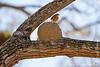 Hornero Rufous on Its Nest