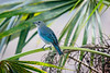 Blue-Gray Tanager......(RLT_1852)