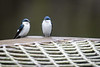 White-Winged Swallow......(RLT_2158)