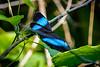 Morpho Butterfly......(RLT_2289)