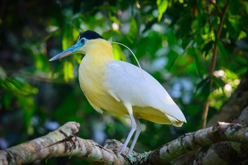 Capped Heron......(RLT_2523)