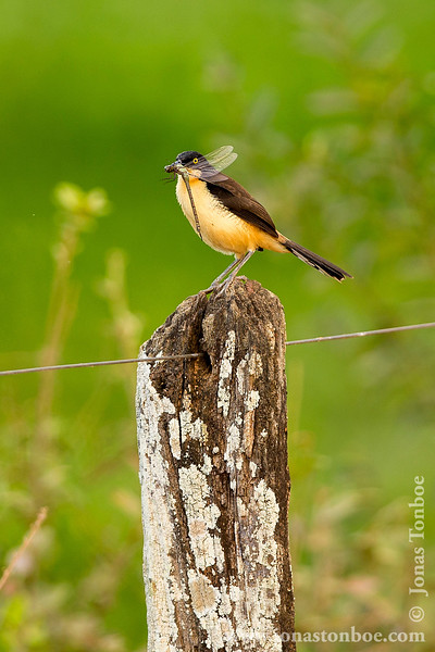 Black-capped Donacobius With Dragonfly