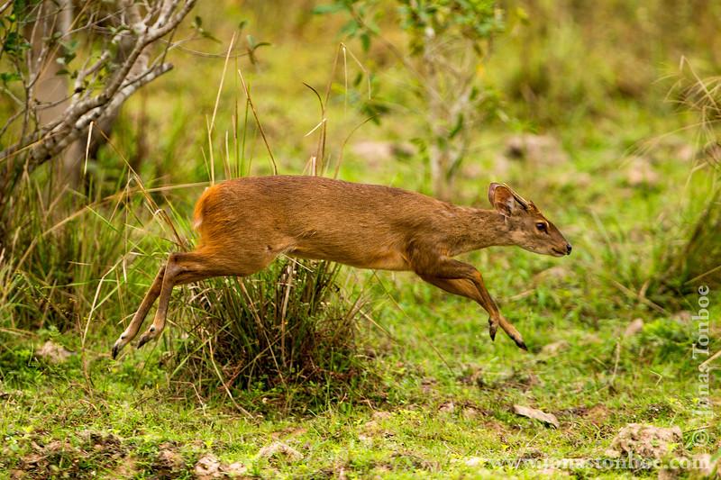 Red Brocket Deer
