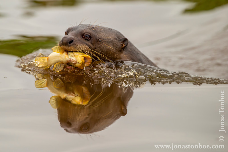 Giant River Otter With a Fish