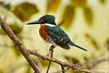 Male Green Kingfisher