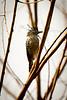 Barred Antshrike......(RLT_3055)