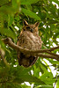 Great Horned Owl aka Tiger Owl