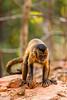 Bearded Capuchin aka Black-striped Capuchin