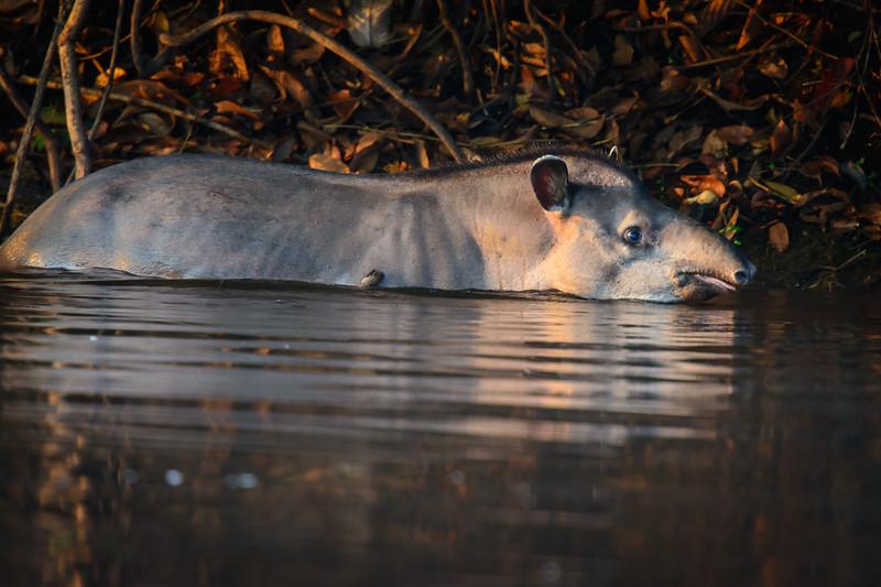 South American Tapir......(RLT_2356)