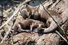 Giant Otter......(RLT_2829)
