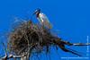 Jabiru Nesting