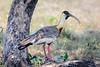 Buff-Necked Ibis......(RLT_3237)