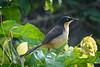 Black-Capped Donacobius......(RLT_2507)