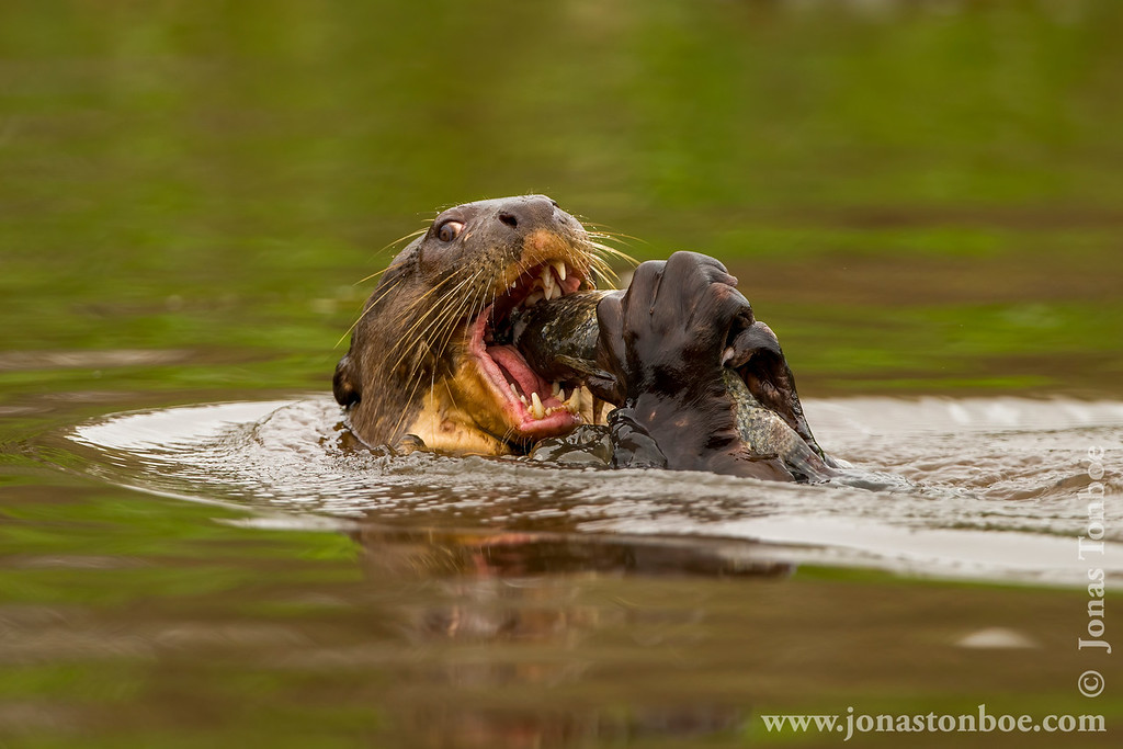 Giant River Otter Eating a Fish