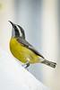 Bananquit......(RLT_1799)