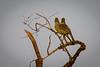 Yellow-Bellied Elania......(RLT_2958)
