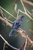Chopi Blackbird......(RLT_3030)