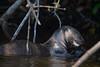 Giant Otter......(RLT_2834)