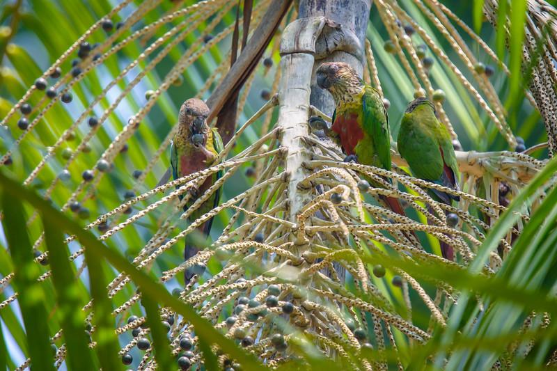Madeira Parakeet......(RLT_2866)