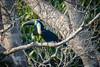 White-Throated Toucan...... (RLT_2691)