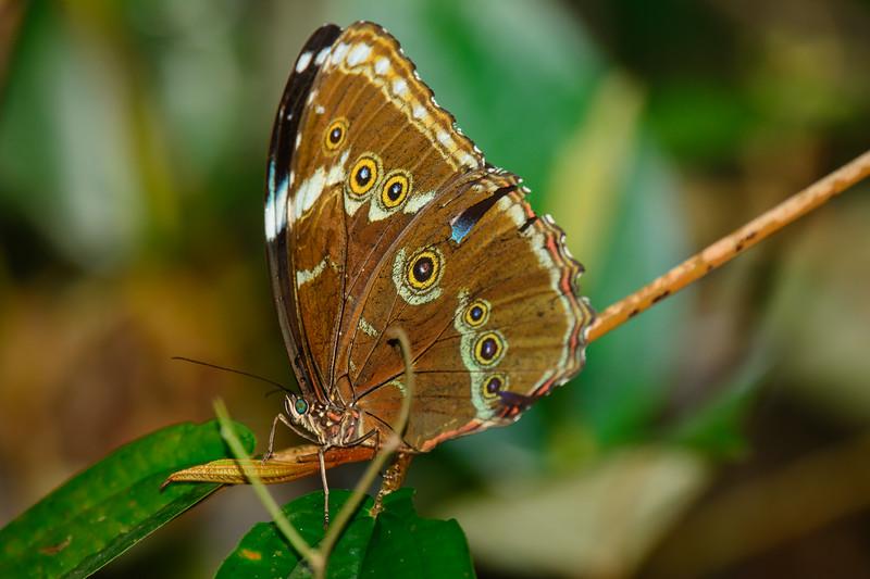 Morpho Butterfly......(RLT_2762)