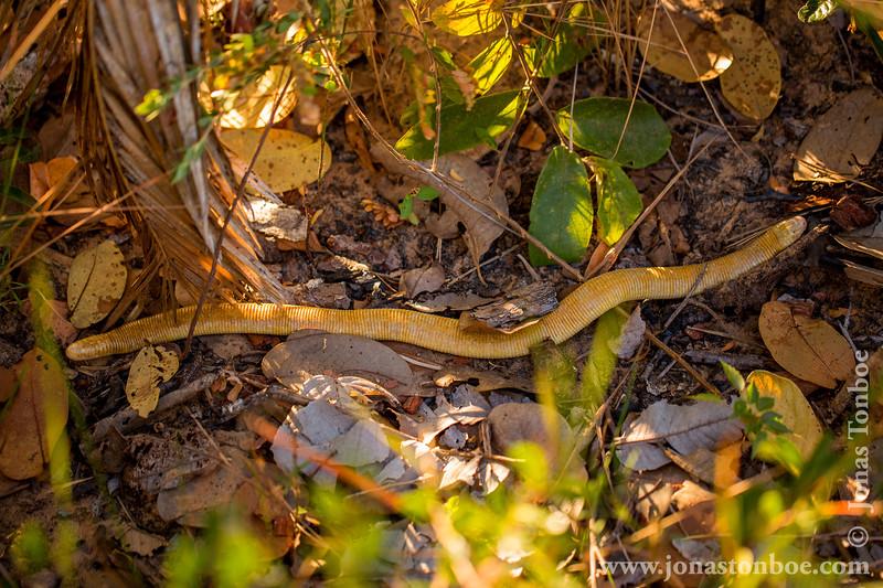 Blind Snake aka Two Headed Snake