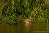 Female Jaguar Swimming