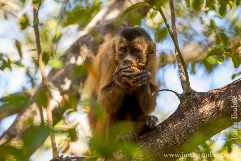 Bearded Capuchin Monkey aka Black-striped Capuchin