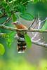 Black-Bellied Cuckoo......(RLT_2084)