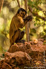 Bearded Capuchin aka Black-striped Capuchin