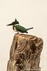 Male Amazon Kingfisher