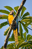 Blue-and-Yellow Macaw......(RLT_2248)