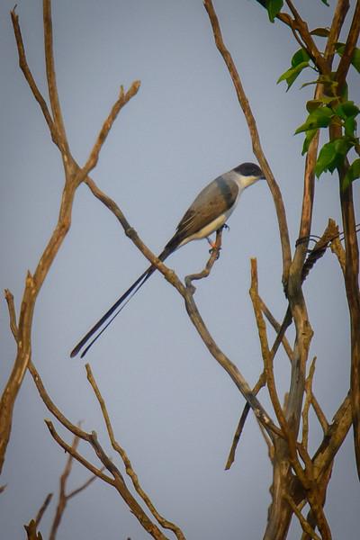 Fork-Tailed Flycatcher......(RLT_2994)